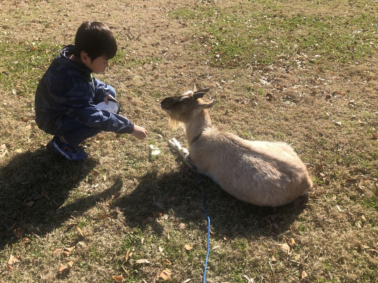 宮崎県都城市吉之元町「霧島たまご牧場」うさぎを触れ合えます。キャベツ大好きです。